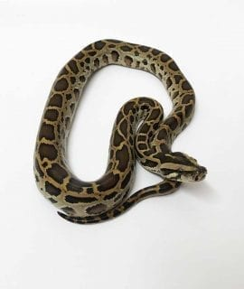 Male Classic Burmese Python