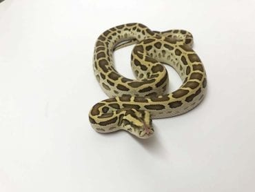 Female Hypo Burmese Python CB19