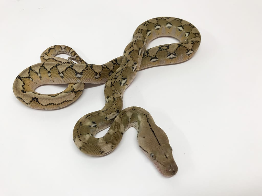 Male Platinum het Anthrax Dwarf Reticulated Python CB20