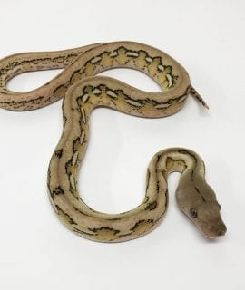 Male Platinum Tiger poss het Anthrax Mainland Reticulated Python CB17
