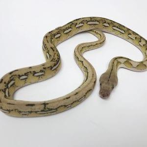 Female Platinum Tiger poss het Anthrax Mainland Reticulated Python CB17