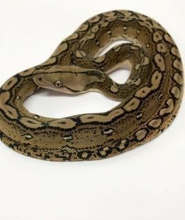 Female Motley het Albino Mainland Reticulated Python CB17