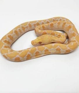 Female White Albino Mainland Reticulated Python CB17