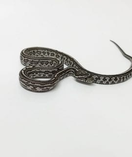Male Anery Tessera het Scaleless Strawberry Amel Corn Snake CB17