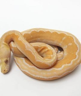 Male White Albino Motley Mainland Reticulated Python CB17