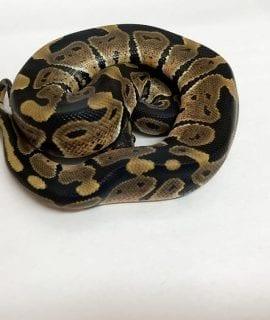 Male Classic poss het Pied Royal Python CB19