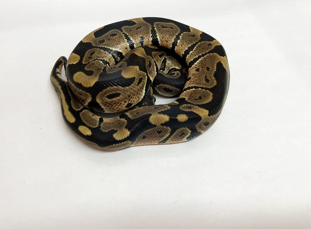 Male Classic Royal Python CB18