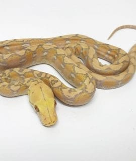 Female Lavender Super Dwarf Reticulated Python CB17