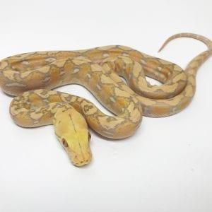 Female Lavender Super Dwarf Reticulated Python CB17