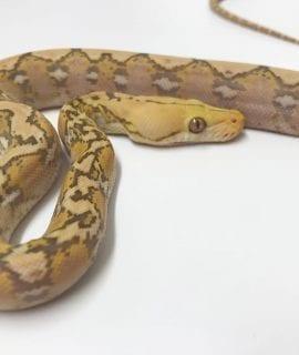 Male Purple Albino Super Dwarf Reticulated Python