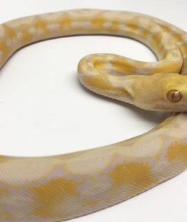 Female Toffee Dwarf Reticulated Python CB17