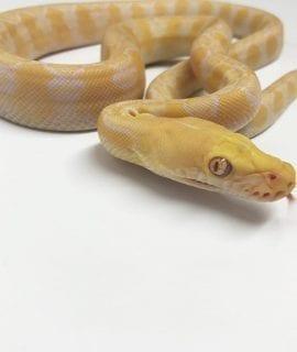 Male White Sunfire Super Dwarf Reticulated Python CB17