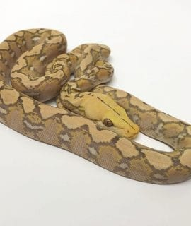 Female Purple Albino Super Dwarf Reticulated Python CB17