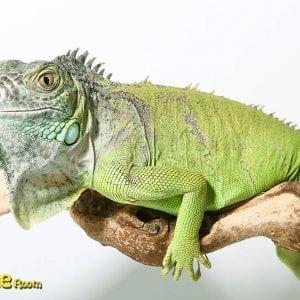 Green Iguana CF18