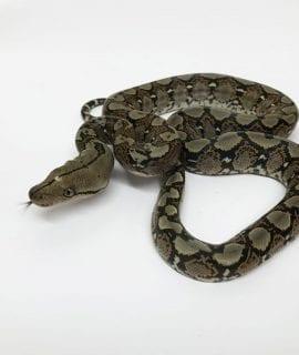 Female Classic het Pied poss het Albino Mainland Reticulated Python CB17
