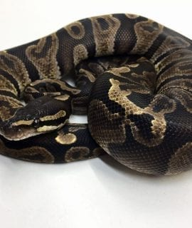 Female GHI Double het Snow Royal Python CB 700g