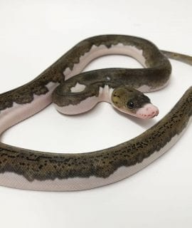 Female White Sided Pied poss het Albino Mainland Reticulated Python CB17