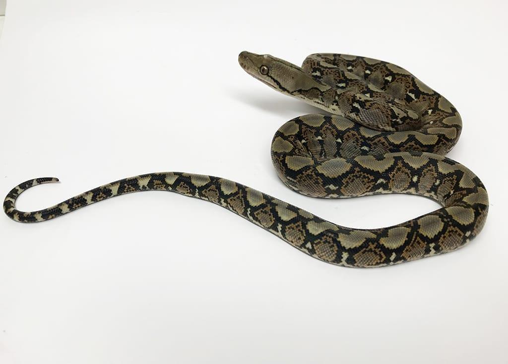 Male Classic het Pied poss het Albino Mainland Reticulated Python CB17