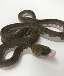 Female Low White Pied poss het Albino Mainland Reticulated Python CB17