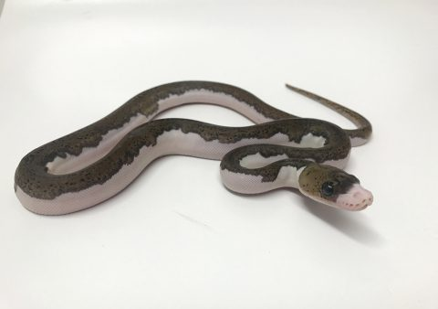 Male White Sided Pied poss het Albino Mainland Reticulated Python CB17
