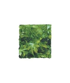 ZM Cannabis, Medium, BU-26