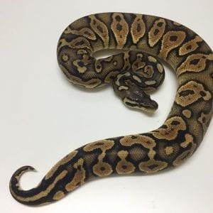 Female EXO LBB Pastel het Ghost Royal Python CB17