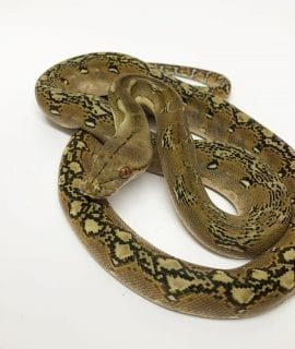 Female Phantom Dwarf Reticulated Python CB17