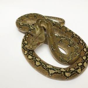 Female Phantom Dwarf Reticulated Python CB17