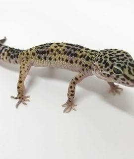 Male Classic Leopard Gecko CB17
