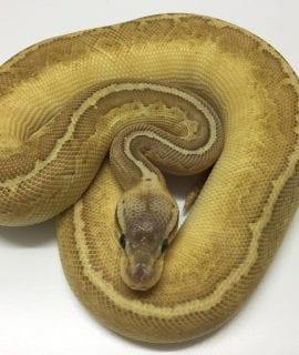 Male EXO LBB Lemonblast Butter Royal Python CB17