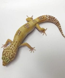 Male Hybino Leopard Gecko CB17