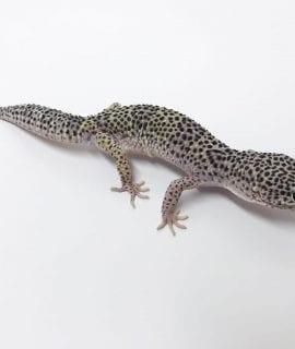 Male Mack Snow Leopard Gecko CB17