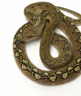 Male Phantom Dwarf Reticulated Python CB17