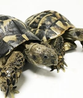Hermann's Tortoise Breeding Pair CB Adult