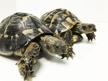 Hermann's Tortoise Breeding Pair CB Adult