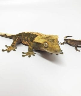 Crested Gecko Babies CB19