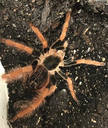 Megaphobema Robustum (Colombian Giant) Tarantula