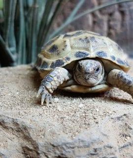 Horsefield Tortoise CB18