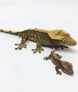 Mixed Crested Gecko CB17
