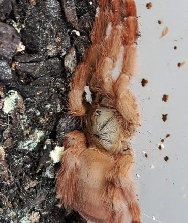 Tapinauchenius Gigas (Orange Tree Spider) Tarantula