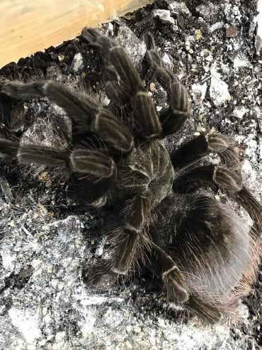 Pamphobeteus Machala (Purple Starburst) Tarantula