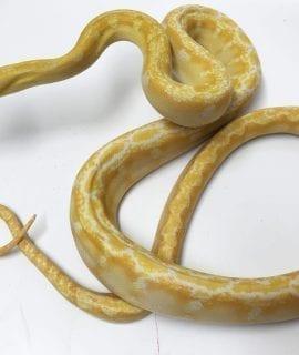 Female White Albino Phantom Dwarf Reticulated Python CB17