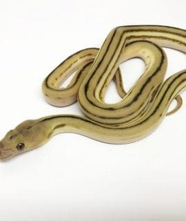 Female Super Tiger het Anthrax Mainland Reticulated Python CB17