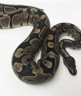 Male Classic Royal Python 1500g