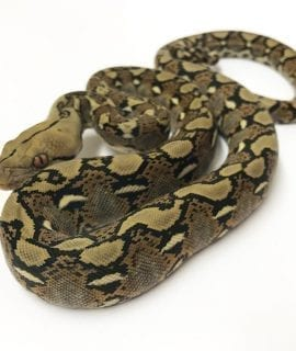 Male Classic het Albino Mainland Reticulated Python CB17