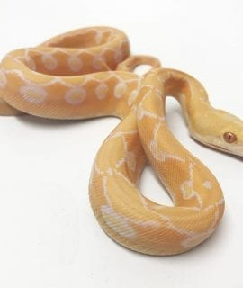 Male White Super Sunfire Mainland Reticulated Python CB18