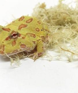 Albino Horned Frog CB18