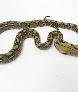 Female Classic het Albino Mainland Reticulated Python CB17