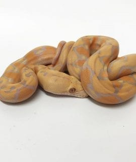 Male Lavender Sunfire Mainland Reticulated Python CB18
