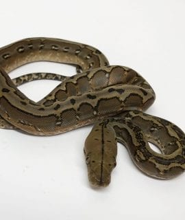 Female Marble het Anery Super Dwarf Reticulated Python CB18